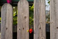 Fresa roja en una cerca de madera foto de archivo libre de regalías