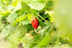 Fresa roja fresca Fotografía de archivo