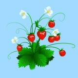 Fresa roja madura aislada en fondo azul Foto de archivo libre de regalías