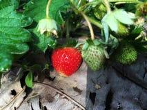 Fresa roja madura con la fresa blanca cruda en el jardín del houseplant imagen de archivo libre de regalías