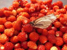Fresa salvaje Foto de archivo libre de regalías