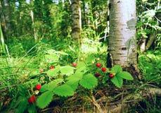 Fresa salvaje de las bayas debajo de un árbol de abedul Fotos de archivo