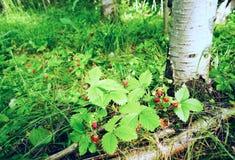 Fresa salvaje de las bayas debajo de un árbol de abedul Foto de archivo