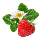Fresa y flor de la fresa aislada en blanco Imagen de archivo