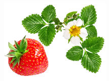 Fresa y flor de la fresa aislada en blanco Imagenes de archivo
