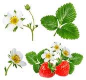 Fresa y flor de la fresa aislada en blanco Imagen de archivo libre de regalías