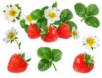 Fresa y flor de la fresa aislada en blanco Fotos de archivo libres de regalías