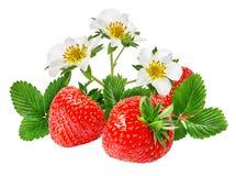 Fresa y flor de la fresa aislada en blanco Foto de archivo libre de regalías