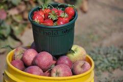 Fresa y manzanas escogidas mano Fotos de archivo