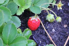 Fresa y Rich Compost Soil fotografía de archivo