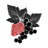 Fresa y una rama de la pasa con las hojas, el handdrawing, aislado Ilustración Color negro y rojo Imagenes de archivo