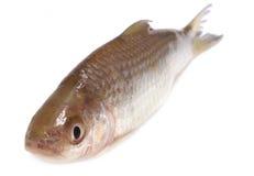 Fresah鱼 库存照片