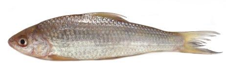 Fresah鱼 免版税库存照片