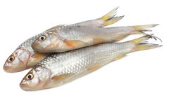 Fresah鱼 免版税库存图片