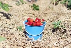 Fresas Fotos de archivo libres de regalías
