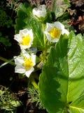 Fresas de jard?n florecientes Brotes blancos florecientes de la baya de la fresa en la primavera del diagrama del jardín fotografía de archivo libre de regalías