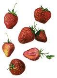 Fresas de la acuarela aisladas en blanco Fotos de archivo libres de regalías