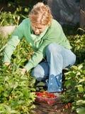 Fresas de la cosecha de la mujer Imágenes de archivo libres de regalías