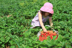 Fresas de la cosecha del niño Foto de archivo libre de regalías