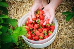 Fresas de la cosecha en el campo Foto de archivo libre de regalías