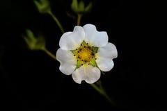 Fresas de la flor Fotos de archivo libres de regalías