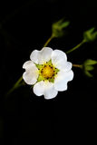 Fresas de la flor Fotografía de archivo