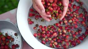 Fresas de los washs de la mano de Childs pequeñas en cuenco Pone las bayas netas en un colador metrajes