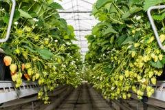 Fresas de maduración que cuelgan en un invernadero moderno Foto de archivo libre de regalías