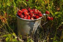 Fresas del prado en una taza de aluminio vieja en la hierba Fotografía de archivo libre de regalías