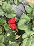 Fresas después de la lluvia foto de archivo