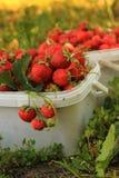 Fresas dulces maduras en cesta plástica en a foto de archivo