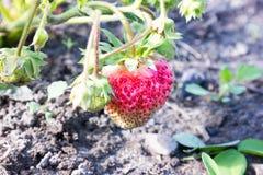 Fresas en el jardín Fotografía de archivo