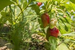 Fresas en el jardín Fotos de archivo