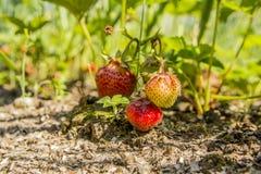 Fresas en el jardín Imagen de archivo libre de regalías