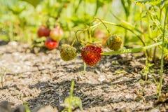Fresas en el jardín Fotos de archivo libres de regalías