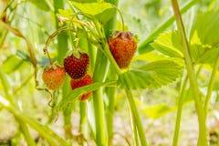 Fresas en el jardín Imagen de archivo