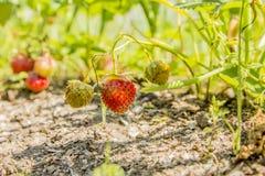Fresas en el jardín Fotografía de archivo libre de regalías