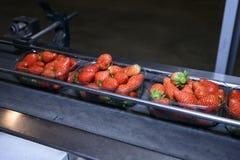 Fresas en la banda transportadora Foto de archivo
