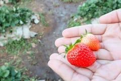 Fresas en las manos Foto de archivo libre de regalías