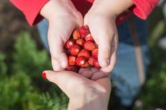 Fresas en las palmas del niño Fotografía de archivo