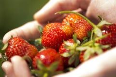 Fresas en manos Imágenes de archivo libres de regalías