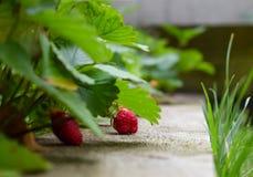Fresas en primavera Fotos de archivo