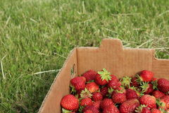 Fresas en rectángulo Imagen de archivo