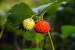 Fresas en un jardín fotografía de archivo libre de regalías