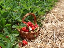 Fresas en una cesta Foto de archivo