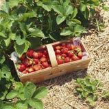 Fresas en una cesta Imágenes de archivo libres de regalías