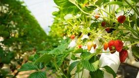 Fresas en una granja de la fresa Imágenes de archivo libres de regalías