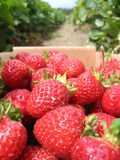 Fresas escogidas imagen de archivo
