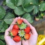 Fresas escogidas frescas Foto de archivo libre de regalías