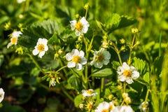Fresas florecientes Flores blancas de la fresa Arbusto de fresa Fresas en el jardín Foco selectivo Imágenes de archivo libres de regalías